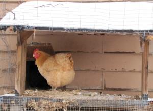 chicken porch