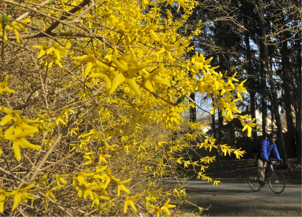 Forsythias bloom where the Northampton bike path intersects with Prospect Avenue Monday. JERREY ROBERTS - JERREY ROBERTS | DAILY HAMPSHIRE GAZETTE