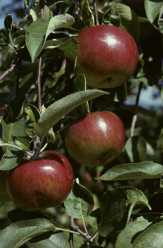 Apple tree - Purestock | Purestock
