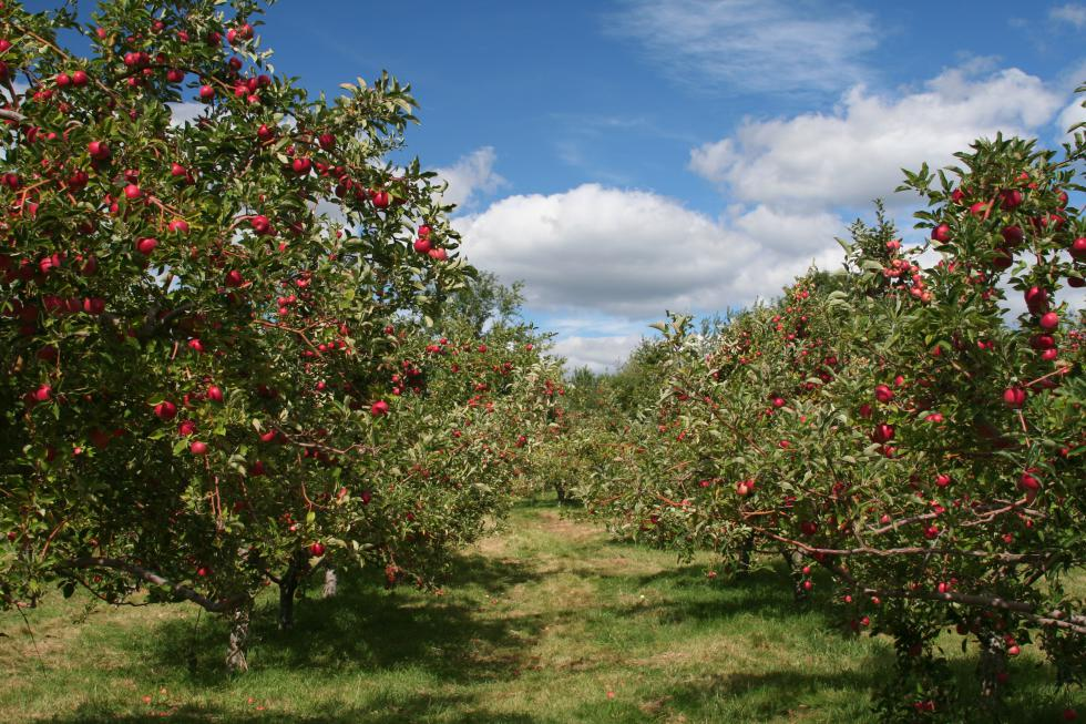 Apple Trees - Nancy Kennedy | iStockphoto