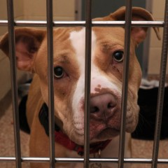 "Who Kicked the Dogs Out? New legislation could mean more homes for pit bulls, other commonly ""blacklisted"" breeds"