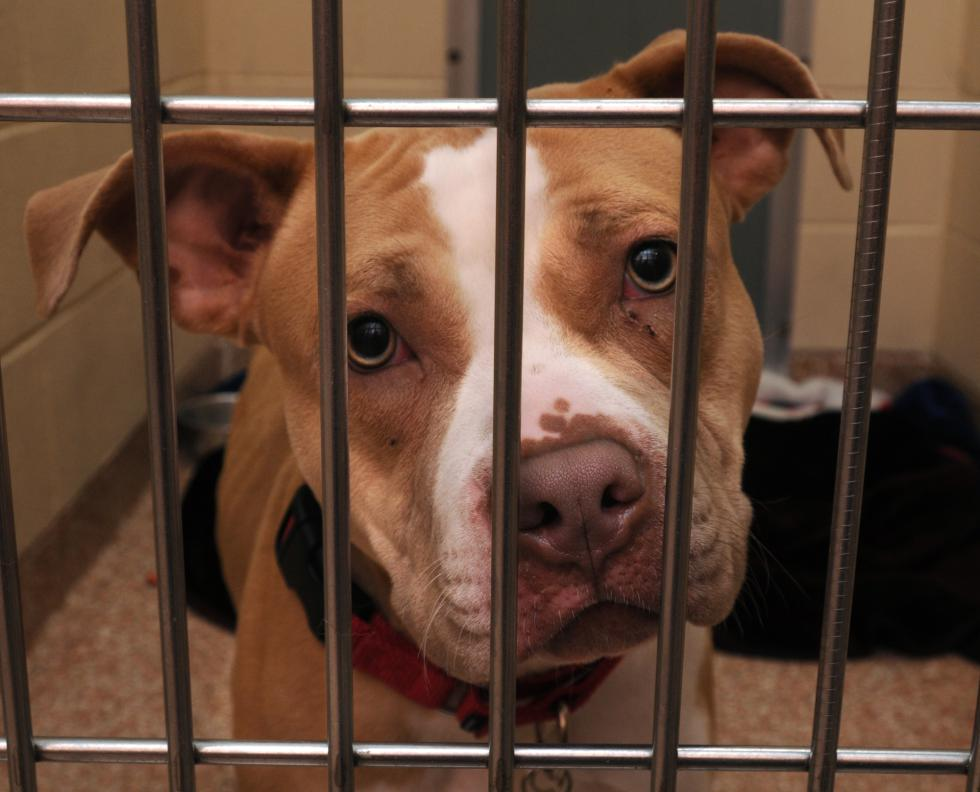 CAROL LOLLIS Othena, a Pit Bull, at Dakin Human Society in Springfield waiting to be adopted. - CAROL LOLLIS | DAILY HAMPSHIRE GAZETTE