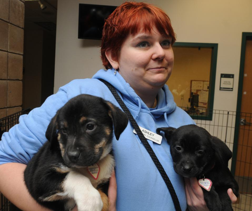 CAROL LOLLIS Ashley Loehn, the adoption counselor at Dakin human Society in Springfield, holds to puppies that will most likely be adopted quickly. - CAROL LOLLIS | DAILY HAMPSHIRE GAZETTE