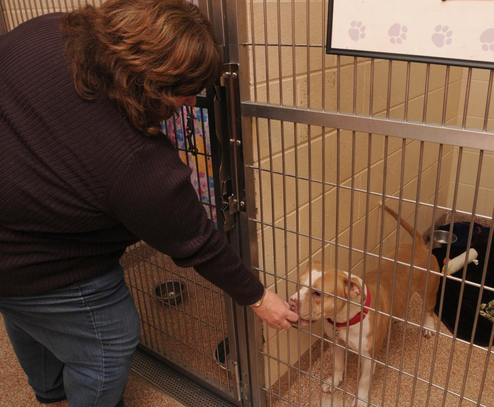 CAROL LOLLIS Lee Chambers, the manager of Marketing and communications at Dakin Human Society in Springfield, gives Othena, a Pit Bull, a treat Wednesday morning. - CAROL LOLLIS | DAILY HAMPSHIRE GAZETTE