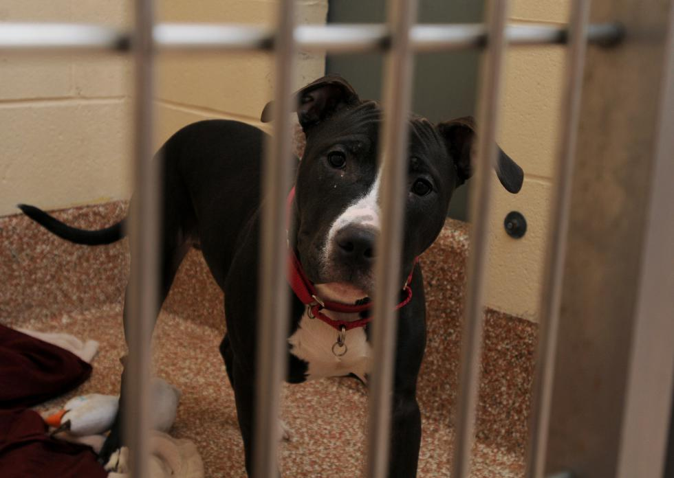 CAROL LOLLIS Octayne, a Pit Bull mix, at Dakin Human Society in Springfield whose adoption is pending. - CAROL LOLLIS | DAILY HAMPSHIRE GAZETTE