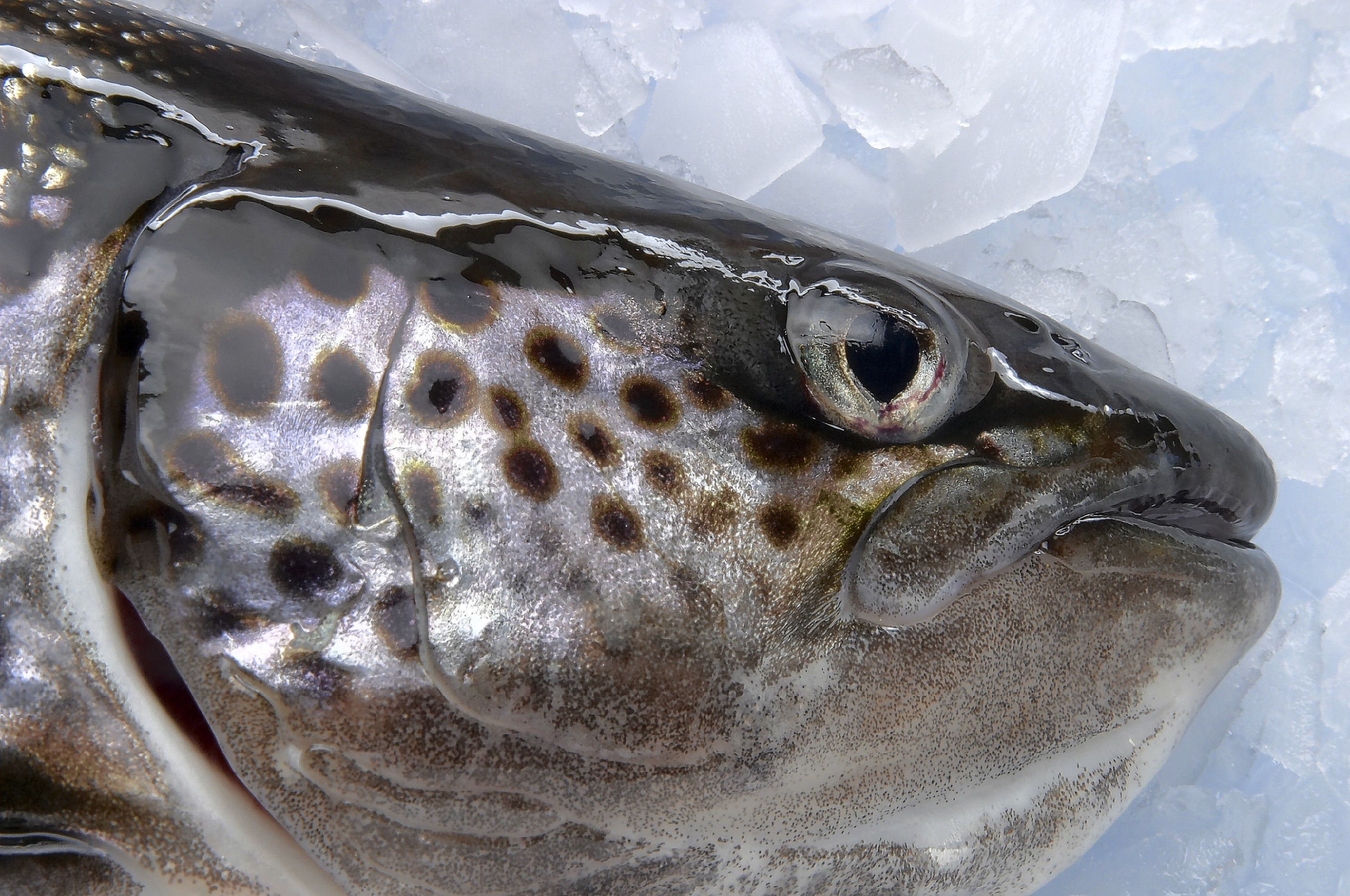 So Long, Salmon! Atlantic salmon are spawning in the CT River, but
