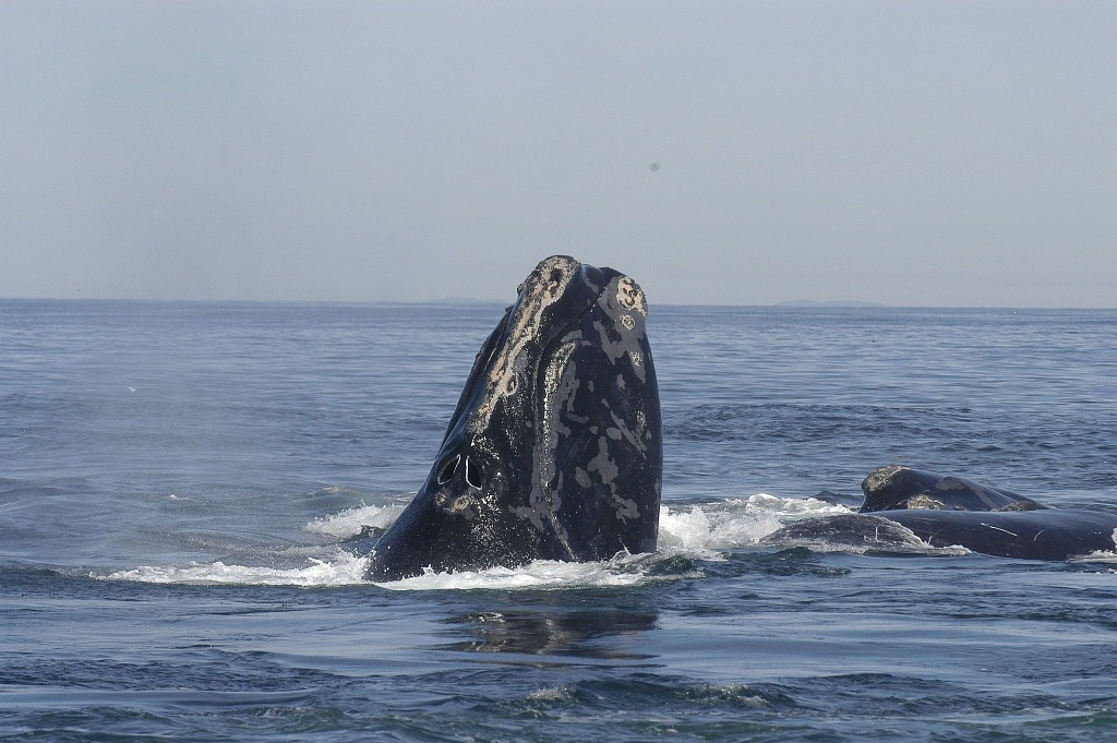 The right whale is endangered