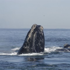 Down to Earth: Right whales feast on the Cape, but for how long?
