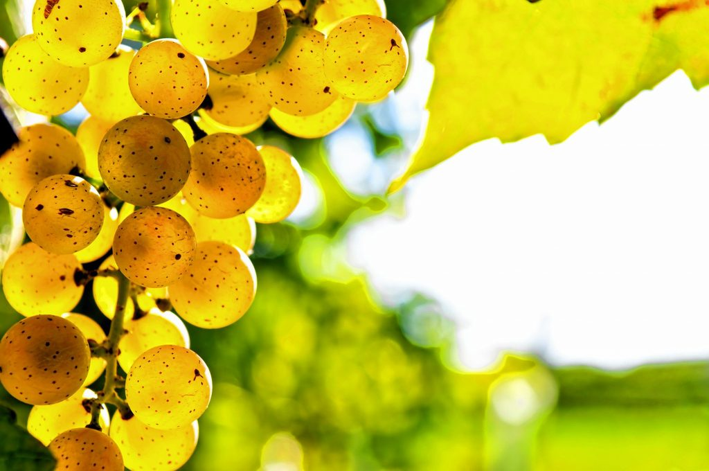 kristin palpiniYellow grapes