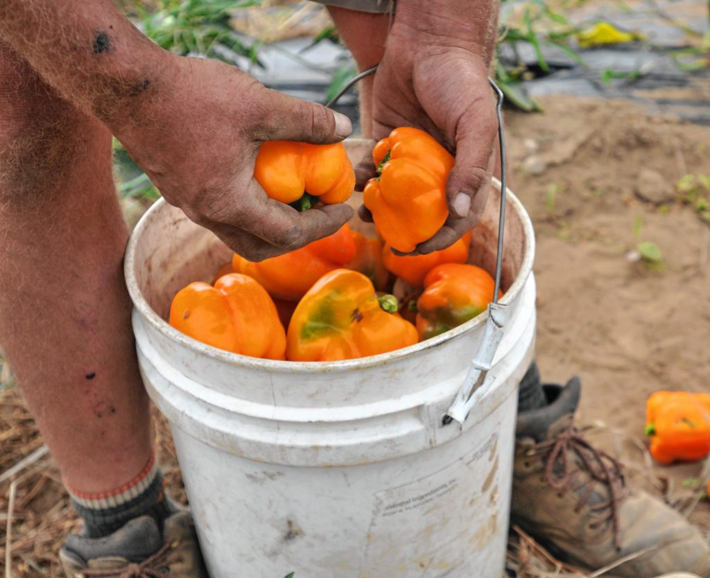 Tobin Porter-Brown, founder and owner of Book and plow Farm in Amherst,  picks Peppers at the farm Thursday.