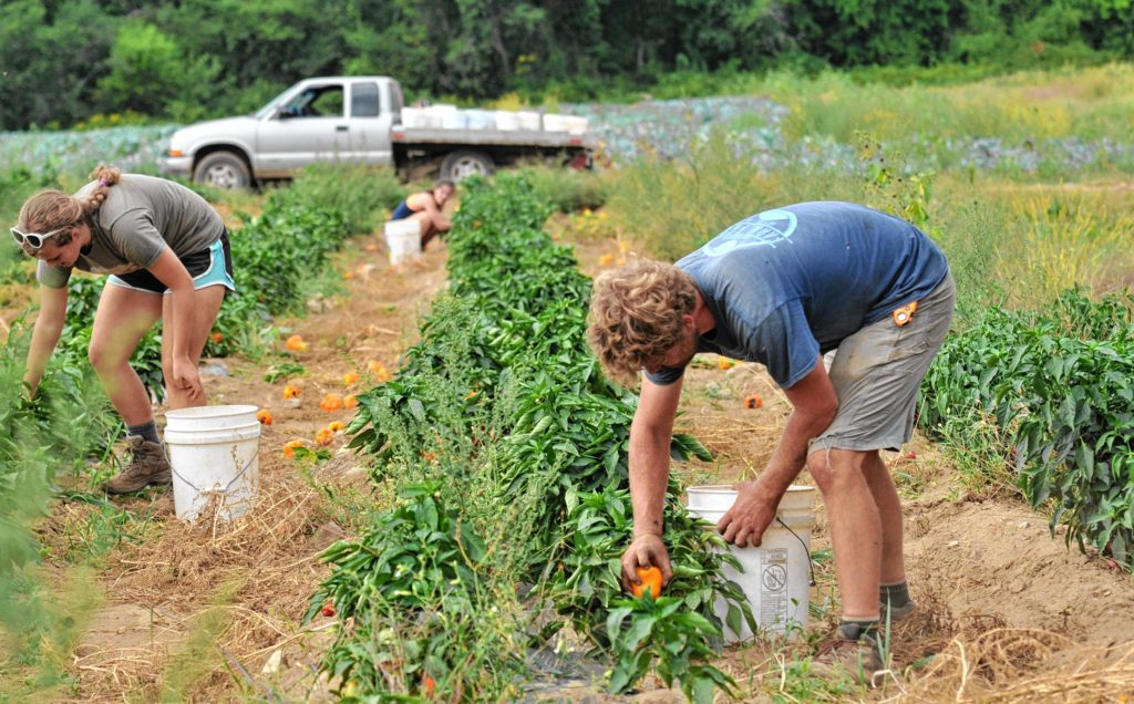 Porter-Brown picks peppers at the farm with Gussie Hollers, an Amherst College student.