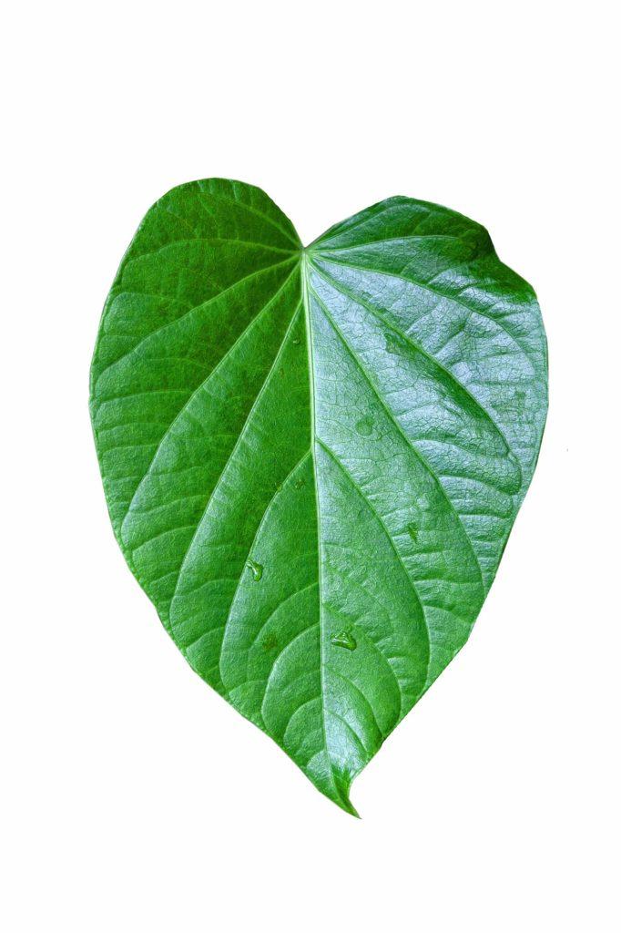 Kava leaf on a plant