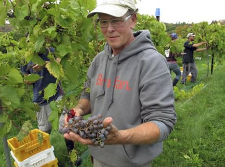 In this Monday, Oct. 3, 2016 photo, Bill Leas holds grapes harvested at Fresh Tracks Farm Vineyard & Winery in Berlin, Vt. The dry summer weather was ideal for growing grapes in some spots in the Northeast, but the drought in southern New England and parts of New York may have decreased the crop. (AP Photo/Lisa Rathke)