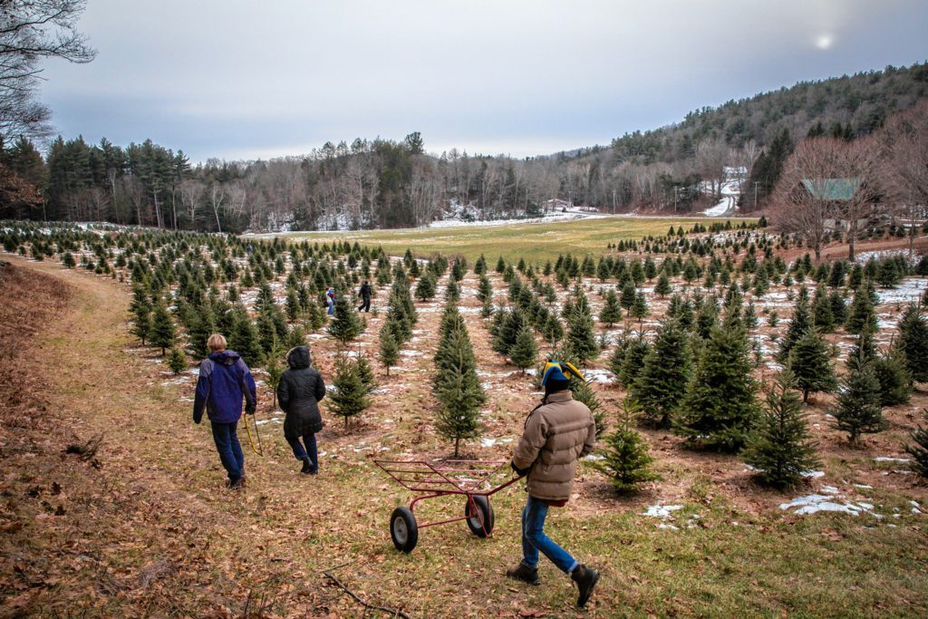 Customers at Cranston's Christmas Tree farm in Ashfield walk through one of the fields with their cart Sunday, December 10, 2016.