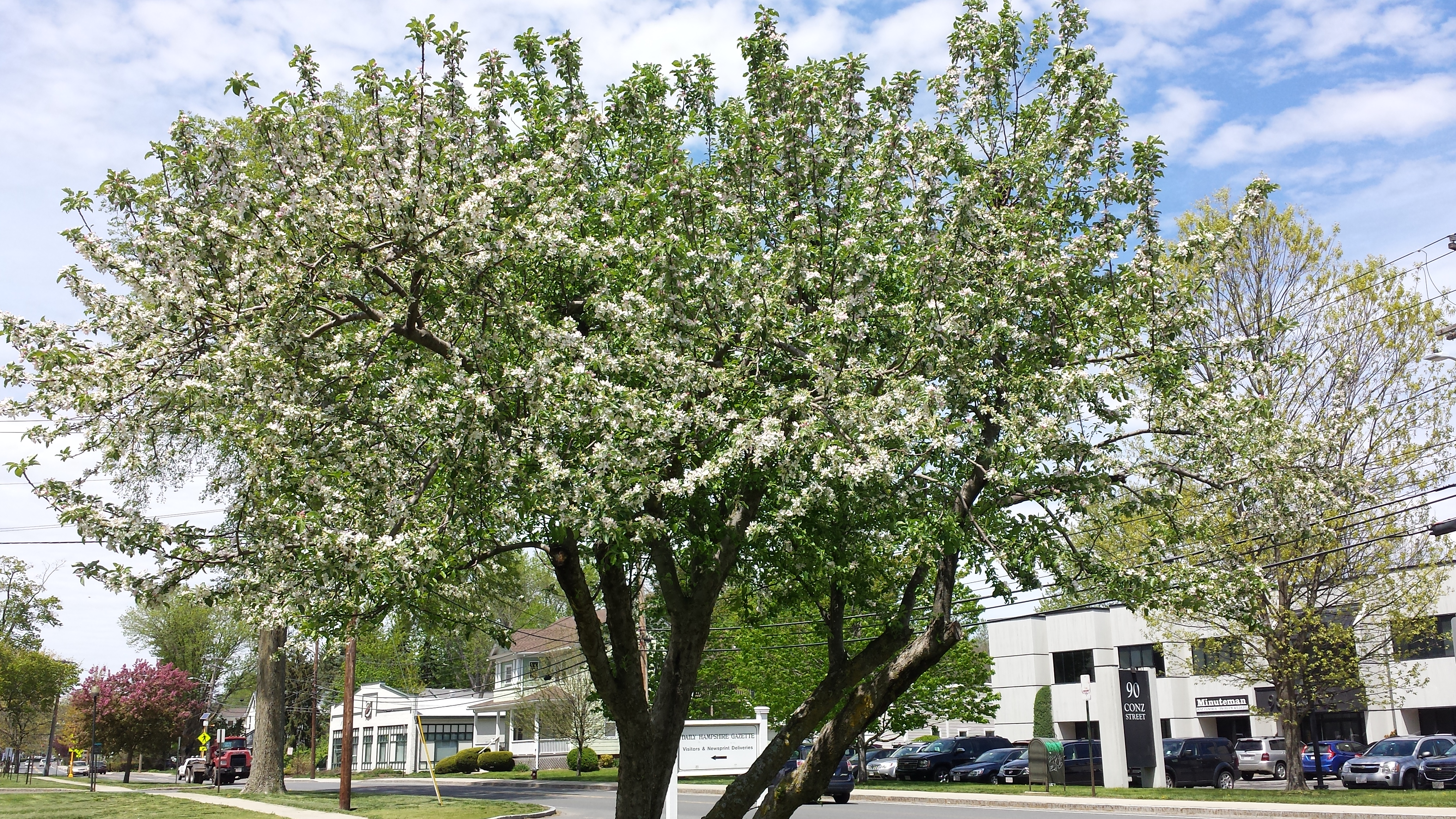 What Are Those Flowering Trees Bushes I Drive By Every Day Utter 1994 Lincoln Continental Mark Iv Instrument Panel Fuse Box Diagram Common Name Crabapple