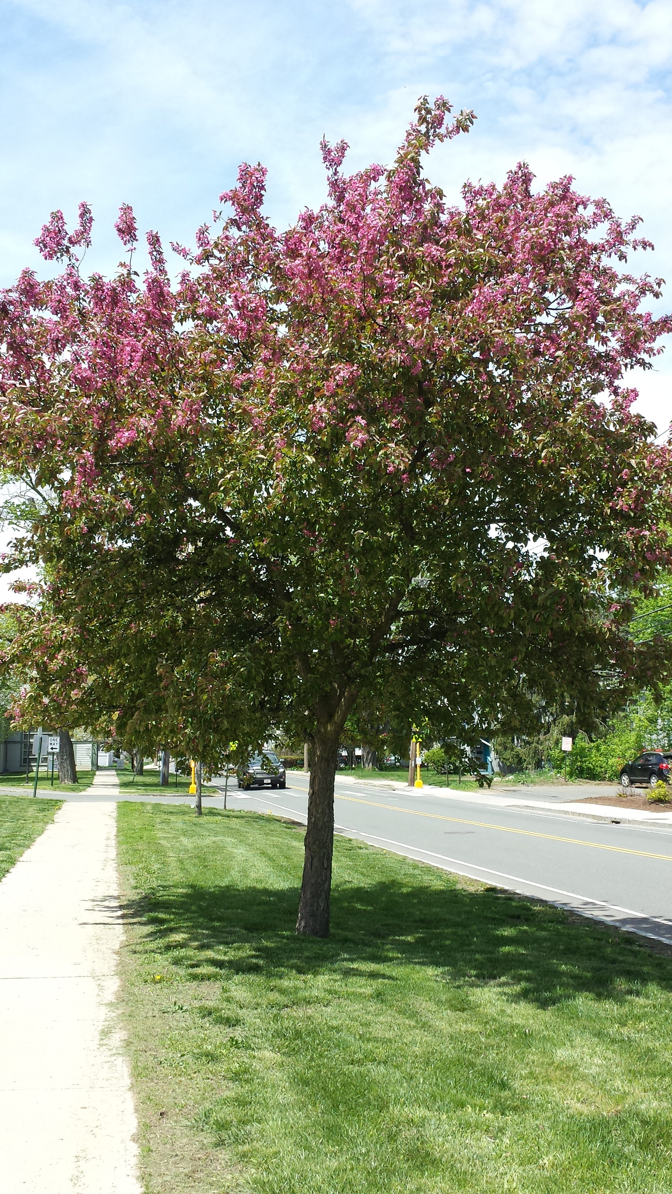 What Are Those Flowering Trees Bushes I Drive By Every Day Utter Peugeot Expert Fuse Box Location Common Name Crabapple