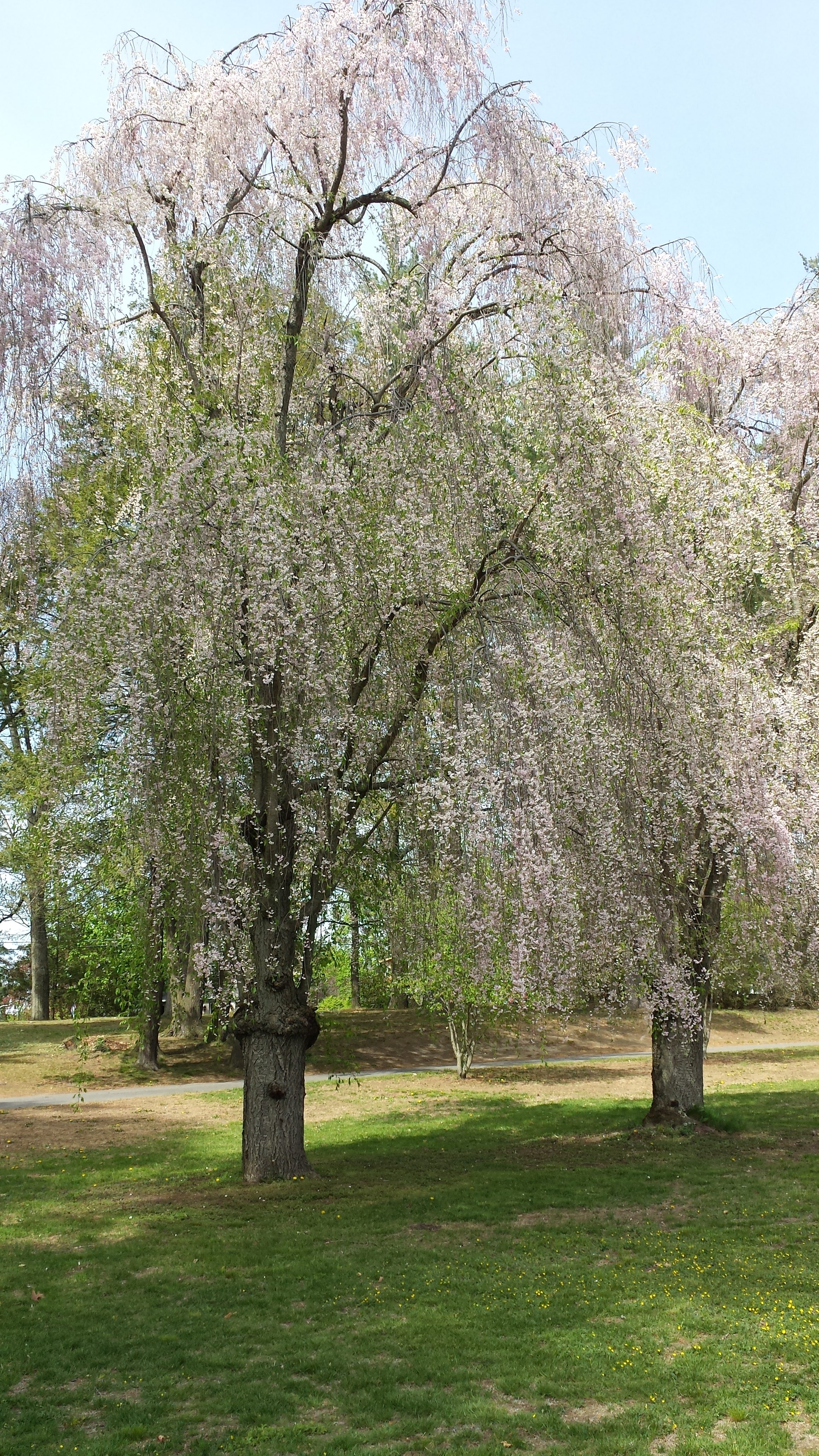 What are those flowering treesbushes i drive by every day common name weeping higan cherry mightylinksfo
