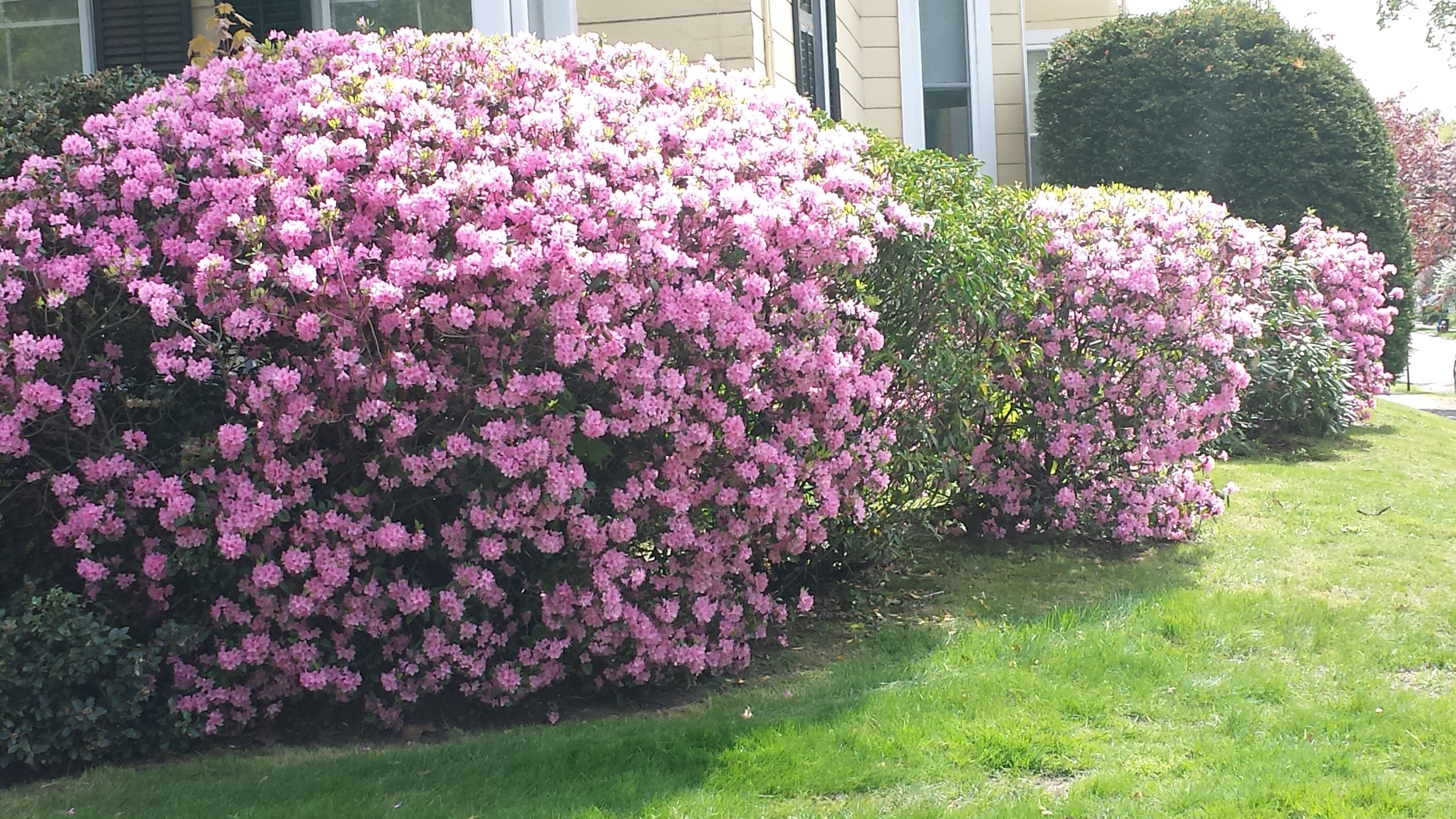 What Are Those Flowering Trees Bushes I Drive By Every Day Utter Peugeot Expert Fuse Box Location Common Name Pjm Elite Lavender Rhododendron