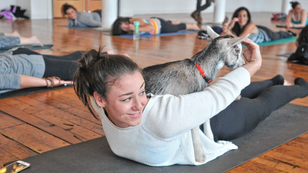 Caitlin Lavinn's during Goat Yoga in Easthampton Friday afternoon.