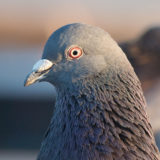 News Of The Weird: Carrier Pigeons Carrying Drugs