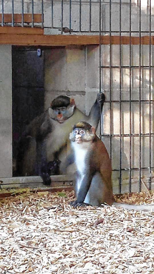 Dizzy, a male Guenon monkey who escaped his enclosure Tuesday at The Zoo in Forest Park, is shown back with his mate Mitzy at the Springfield zoo. THE ZOO IN FOREST PARK