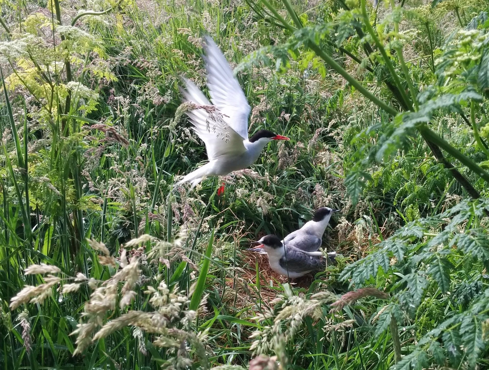 One Good Tern Deserves Another; Saving The Birds One Nest At A Time