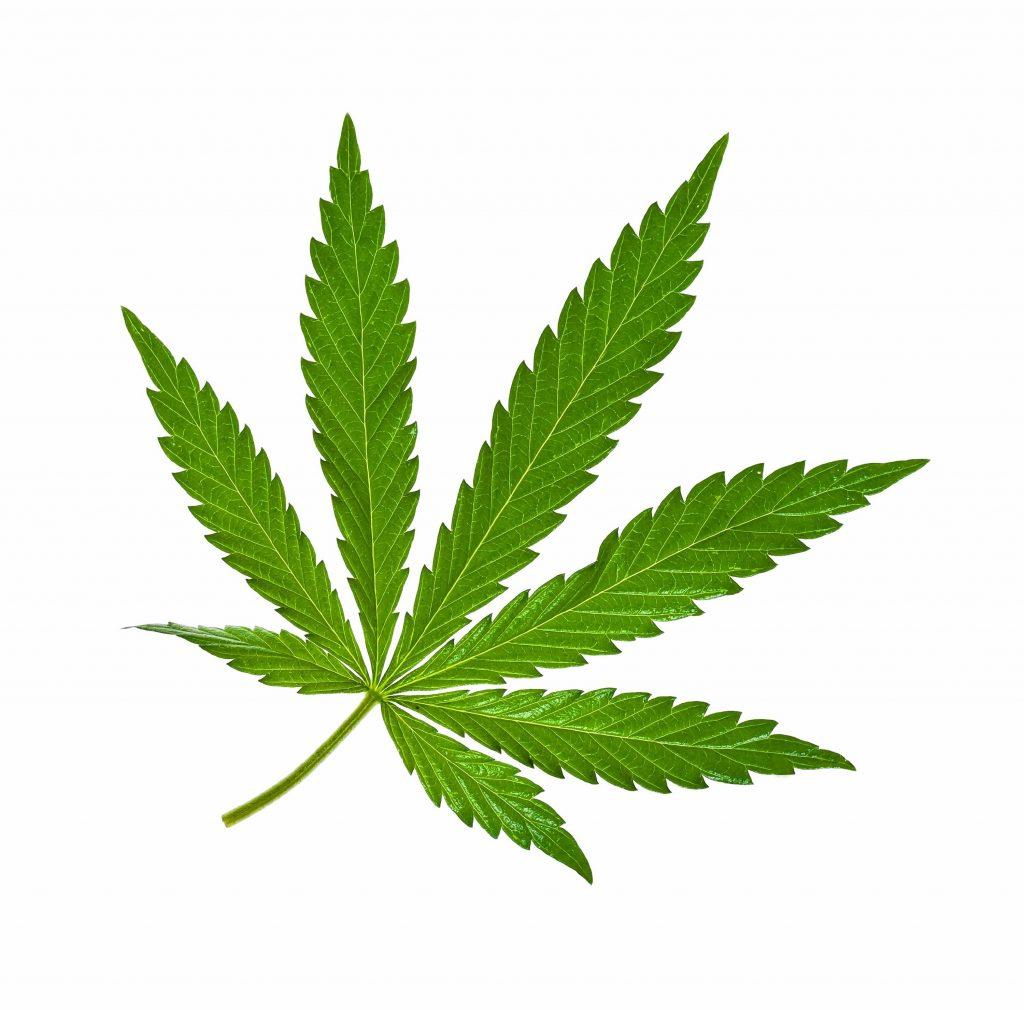 Marijuana leaf isolated on white