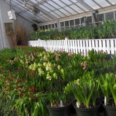 Pick of the Day 3/6: The Smith College Annual Bulb Show