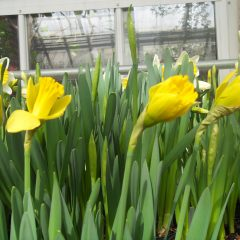 Coming Soon: 'Fields of Flowers' at the Smith College Bulb Show