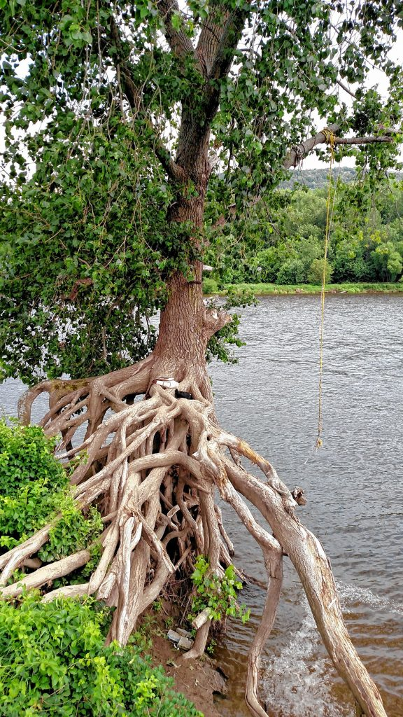 The rope swing tree by the bank of the Connecticut River in the Northampton Meadows.