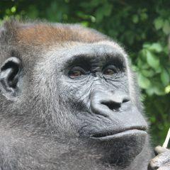Bizarro Briefs: No Bananas Stolen