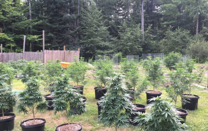 O Cannabis How To Grow Your Own Weed Outside