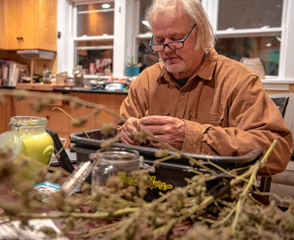 Sam Taylor trims the last of the cannabis plants he harvested this season.