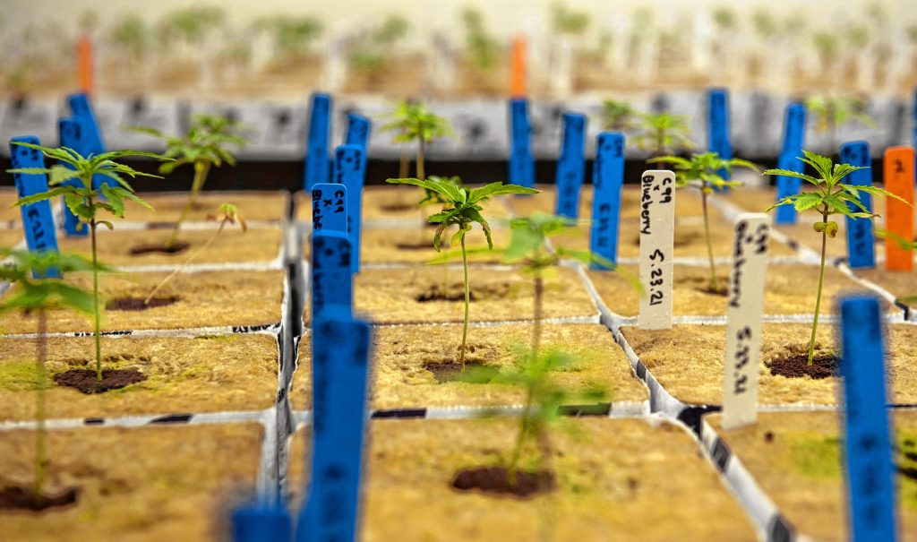 Seedlings at JustinCredible Cultivation in Cummington that will eventually move to the flower room as they get bigger. The 2,516-square-foot facility has 158 lights.