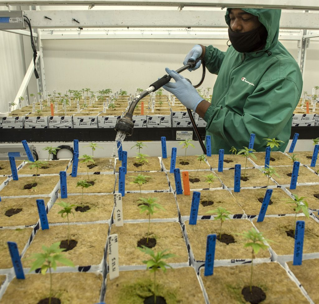 Mac Watson, head horticulturist at JustinCredible Cultivation in Cummington, waters seedlings that will eventually move to the flower room as they get bigger.